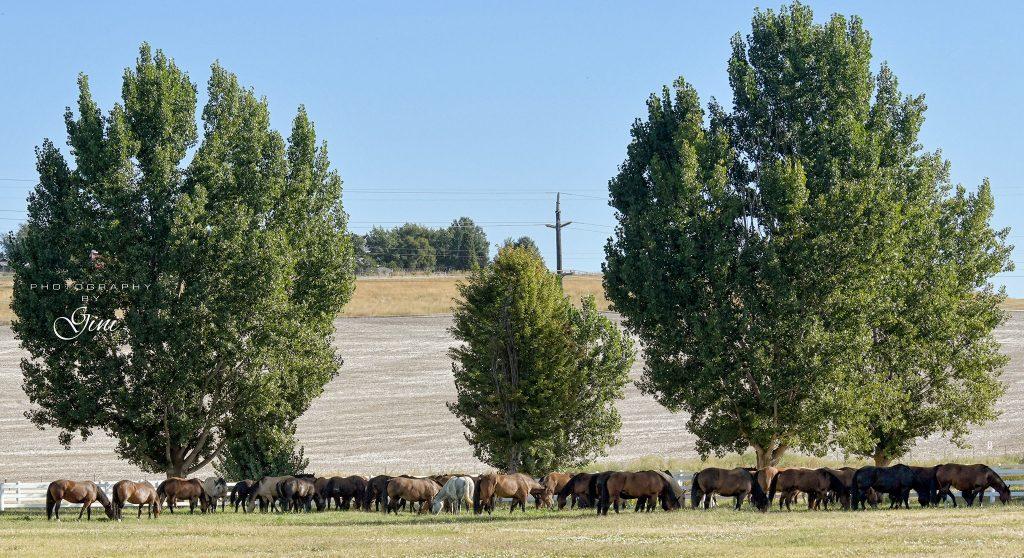 2019 - Sankey Pro Rodeo Bucking Stock, enjoying the Lewiston sunshine